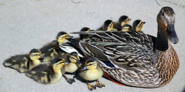Ducklings_Summer